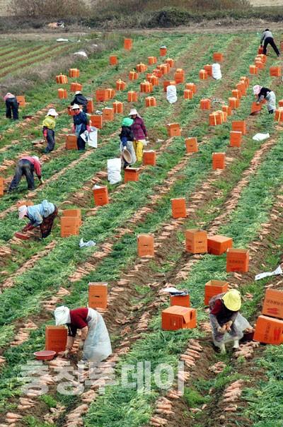 당근수확 분주한 농촌 들녘