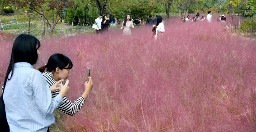 대전 한밭식물원 핑크뮬리(분홍색 억새) 장관
