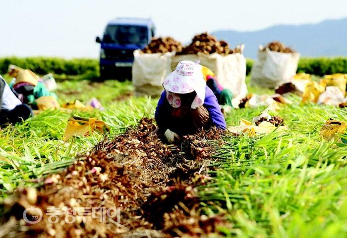 태안 생강 수확 구슬땀