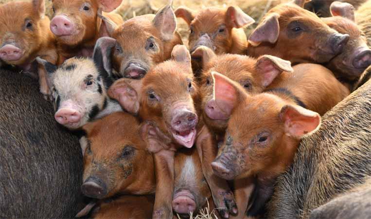풍요·다산의 상징 '돼지' 2019년 새해 딱 그 처럼만…