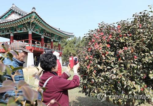 ▲ (서천=연합뉴스) 조성민 기자 = 수령 500년이 된 동백나무가 군락을 이루고 있는 충남 서천군 서면 마량리 동백나무숲에 17일 주말을 맞아 관광객들이 찾아 기념사진을 찍고 있다. 올해는 겨울 혹한 등으로 동백꽃 개화 시기가 일주일가량 늦어질 것으로 예상한다. 마량포구에서는 내달 1일까지 주꾸미축제가 이어진다. 2018.3.17 min365@yna.co.kr