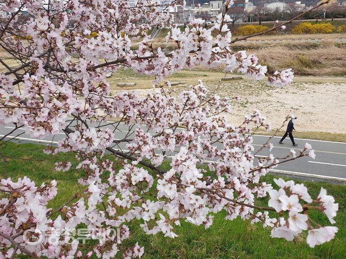 꽃샘추위에도 봄은 봄 … 무심천 벚꽃 꽃망울