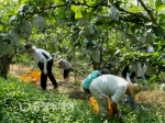 세종농업기술센터 낙과 배 수거 일손돕기