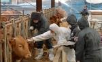 """[르포] """"1·2·3차 구제역 백신 실패 지난해 돼지 살처분 악몽"""""""
