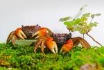 국립해양생물자원관, 붉은발말똥게 인공증식해 500마리 방류