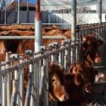 충북 구제역 백신 항체형성률 높다