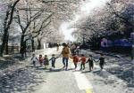 """""""안동서 벚꽃 만끽하세요""""…6일부터 봄꽃축제"""