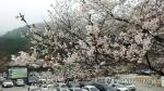 계룡산 벚꽃 '활짝'…지난해보다 6일 빠르게 만발