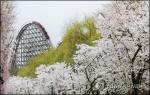 """""""꽃비 맞으러 오세요""""…에버랜드, 13∼15일 벚꽃축제"""