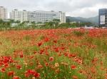 예산군 신청사 앞 양귀비 꽃밭 도심속 힐링공간 주목