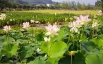 꽃향기 그윽한 노근리 평화공원…이달 30일 연꽃문화제