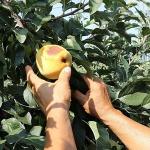 충남 7월 평균 기온 3℃ 증가, 막지 못할 폭염…재배법 변해야