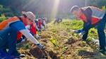 대전농협, 서부농협 관내 고구마농가 일손돕기
