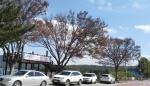 대전 대청호 주변 가로수 3그루 고사…나무서 농약 성분 검출