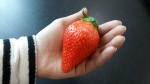 '딸기의 제왕' 킹스베리…충남도 농업기술원 농가 첫 보급