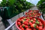 딸기 맛보세유…홍성군 명품딸기 출하