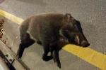 청주 도심 멧돼지 4마리 출몰…1마리 택시와 충돌