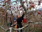 류한우 단양군수·공무원들 신구리 농가 사과수확 도와