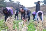 류한우 단양군수-군청직원들 도담리 농가 일손돕기