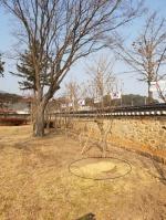 예산군, 윤봉길 의사 사적지 은행나무 '싹둑'