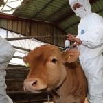 안성 젖소 농가 구제역… 인접 충남도 구제역 유입 차단 총력