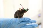 살아 움직이는 쥐 '초음파 뇌 자극 실험' 성공