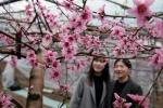 영동 복사꽃… 분홍빛 향기