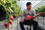 영동 딸기가 특별한 이유…황규민씨, 고설재배 방식으로 고소득