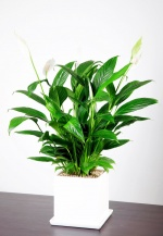 aT, 공기정화 뛰어난 식물 2종 추천…스파티필럼·테이블야자