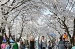 '온 세상이 벚꽃 천지'…충북 유원지에 상춘객 붐벼